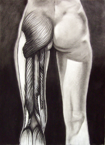 Image:  Copyright 2008, Jeff Curtis, All Rights Reserved.  Charcoal and Conte' Crayon Drawing of Posterior Pelvis and Upper Leg Muscles.